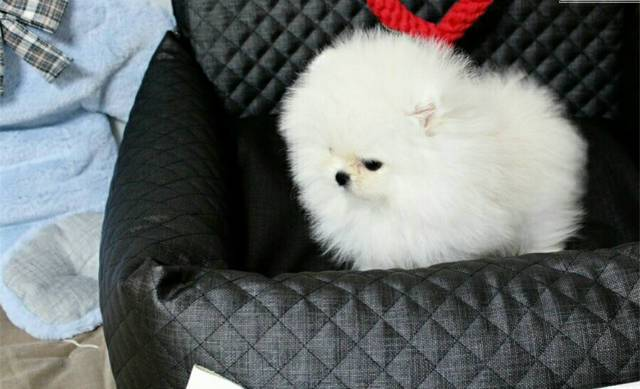Your Dream Teacup POMERANIAN Puppies Available For Adoption