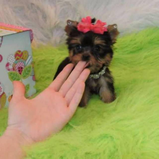 Baby Adorable Yorkie Puppies For Adoption San Jose San Jose San