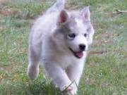 Husky Puppies For Sale.