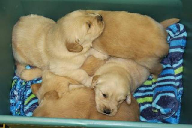 Golden Retriever Puppies For Sale Pittsburgh Allentown 1517 State