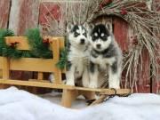 3 Beautiful Siberian Husky Pups Left !!!