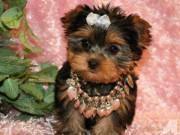 Healthy Purebred Tiny Yorkie Puppies...