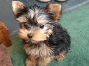 Female Yorkie Puppies For Sale