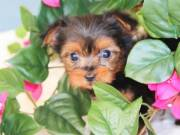 YORKIE PUPPIES AVAILABLE FOR SALE.