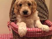 Goldendoodle pups available.
