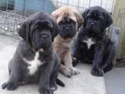 Amazing Bull Mastiff puppies for sale