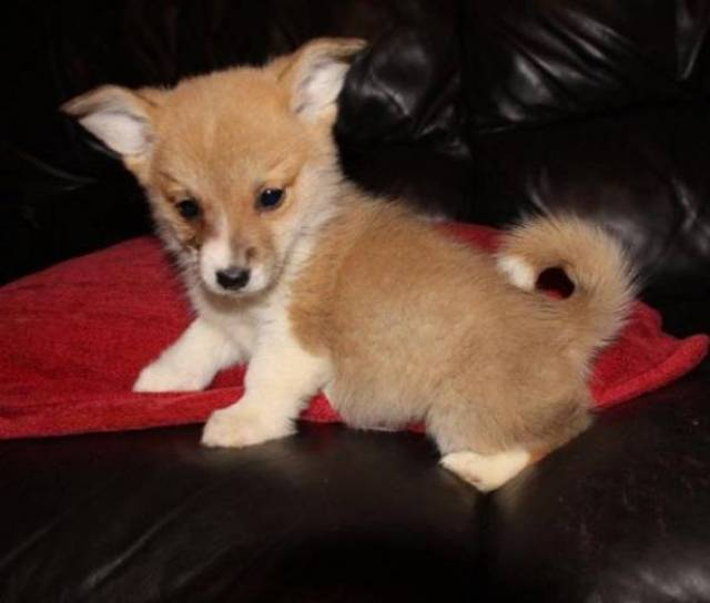 Pembroke Welsh Corgi Puppies For