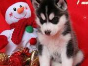 AKc Siberian Husky Puppies Male and Female