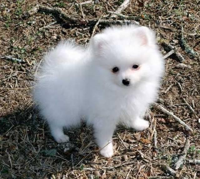 Teacup Pomeranian Puppies San Go