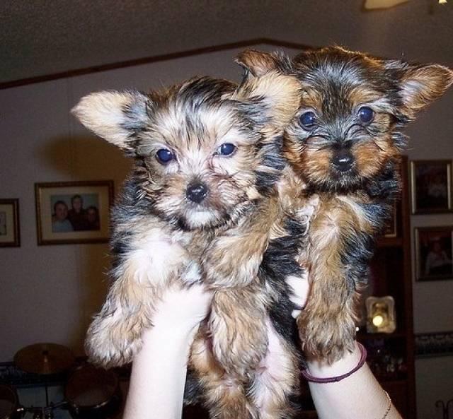 Akc Yorkie Puppies For Adoption Miami Animal Pet