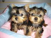 Top Quality Teacup Yorkie Puppies Needs You