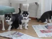 Blue Eyes Siberian Husky Puppies 504-345-9436