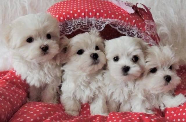 Charming males & females Teacup Maltese Puppies for sale 504-345