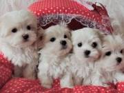 Charming males & females Teacup Maltese Puppies for sale 504-345-9436