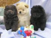 ddc Amazing Healthy Chow chow Puppies Ready Now 504-345-9436