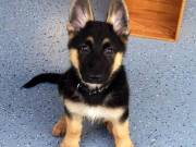 dgd Outstanding Young German Shepard Puppies Available Now for New Homes 504-345-9436