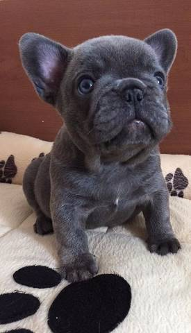 cccx Blue French Bulldog Puppies Available Now For Adoption