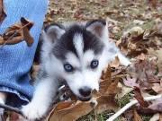 Siberian Husky puppy 214-980-7944