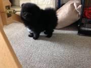 Wonderful Pomeranian puppies#(778) 715-2960