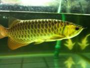 Top quality Grade AAA Arowana fishes (260) 209 4973