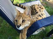 Adorable Serval and Savannah kittens F1-F4 available.