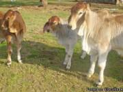 Red Brahman And White Brahman For Sale.