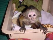 Capuchin monkeys available for rehoming Text us at (+14092101567