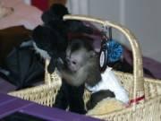 Gorgeous Capuchin Monkey for Sale text us +14092101567