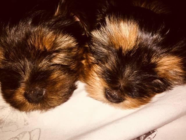 Home Trained Teacup Puppies Dallas Montague Avenue 1518 Montague