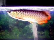 RTG, Chilli Red Arowana Fish For Sale and So Many Others (760) 585-7652