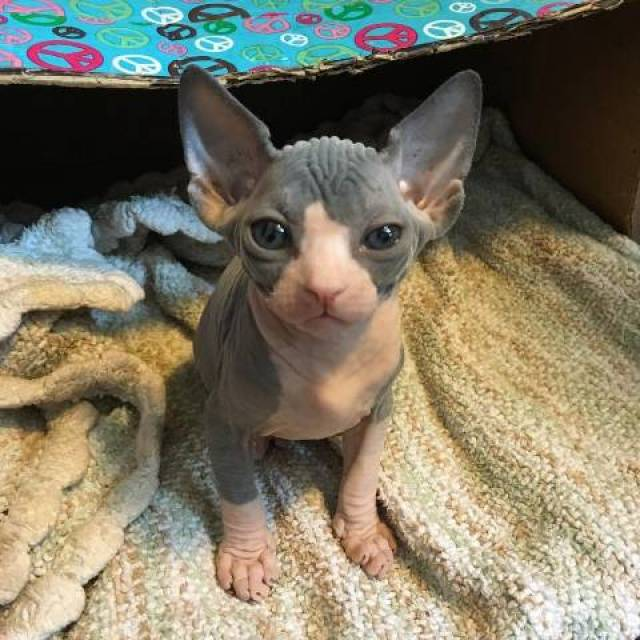 Sphynx Kittens For Sale - Dallas - Animal, Pet