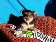Sexy Yorkie Puppies For Sale Male and Female