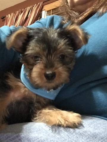 Male and Female Yorkie Puppies For Sale  - Kansas City