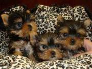 Male And female Teacup Yorkshire terrier Puppies 13 weeks old, very friendly,
