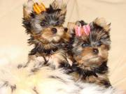 Male And female Teacup Yorkshire terrier Puppies 13 weeks old, very   friendly, housebroken, crate-t