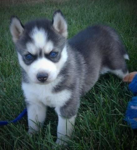 Purebred Siberian Huskies Puppies Los