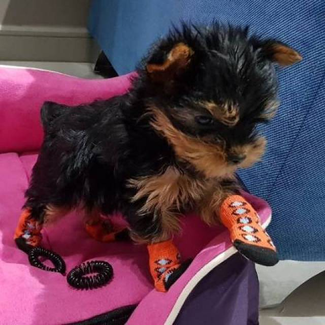 Available Yorkshire Terrier Puppies A Place For All Yorkshire