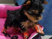Available Yorkshire Terrier Puppies - A Place For all Yorkshire Terrier Lovers