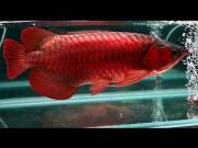 Asian Red Arowana Fish For Sale and Others