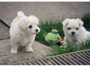 Two Trained Maltese Puppies available (856) 500-3160