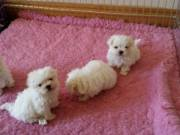 Healthy Male and Female Maltese puppies (786) 572-1389