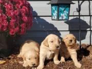 registered Golden retriever pups