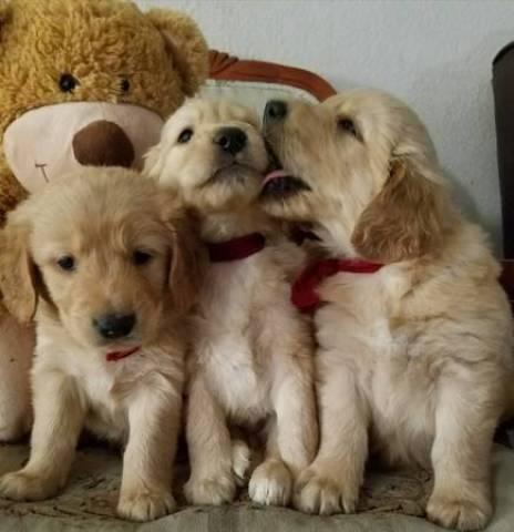 Golden Retriever Puppies El Paso El Paso Tx El Paso Tx