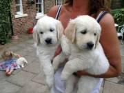 AKC GOLDEN RETRIEVER PUPPIES 8 weeks old