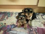 Adorable full blooded Yorkshire terrier for rehoming.