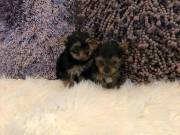 Rehoming 3 Yorkshire terrie puppies