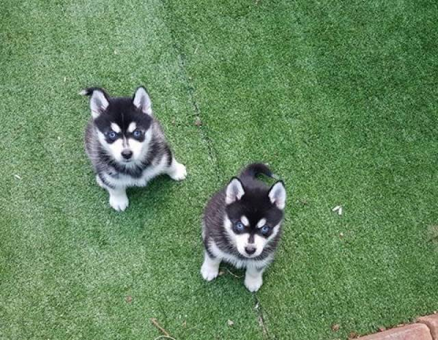 Pomsky Puppies For Sale Males And Females With Wide Blue Eyes