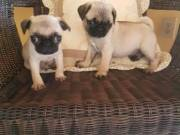 ADORABLE PUG PUPPY FOR ADOPTION