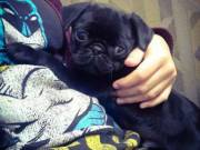pug puppies for good home