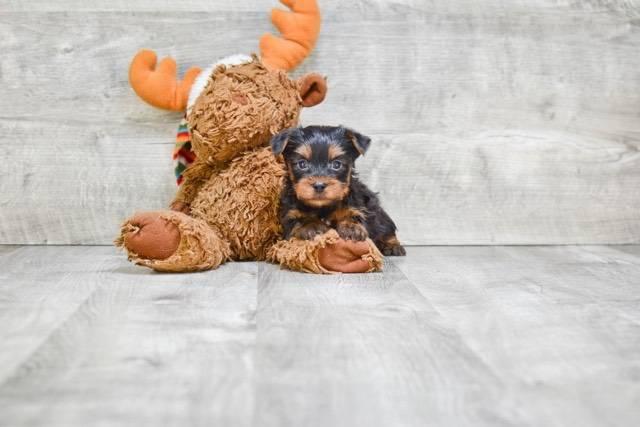 Teacup Yorkie Puppies Now Available San Antonio Animal Pet